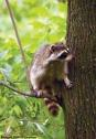 Raccoon in tree c